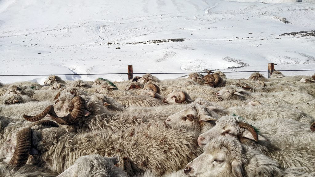 Sheep walking on the winter roads in Gudauri
