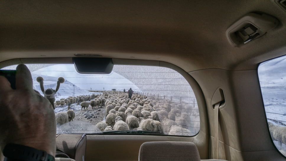 Taking a photo of sheep on Gudauri Roads
