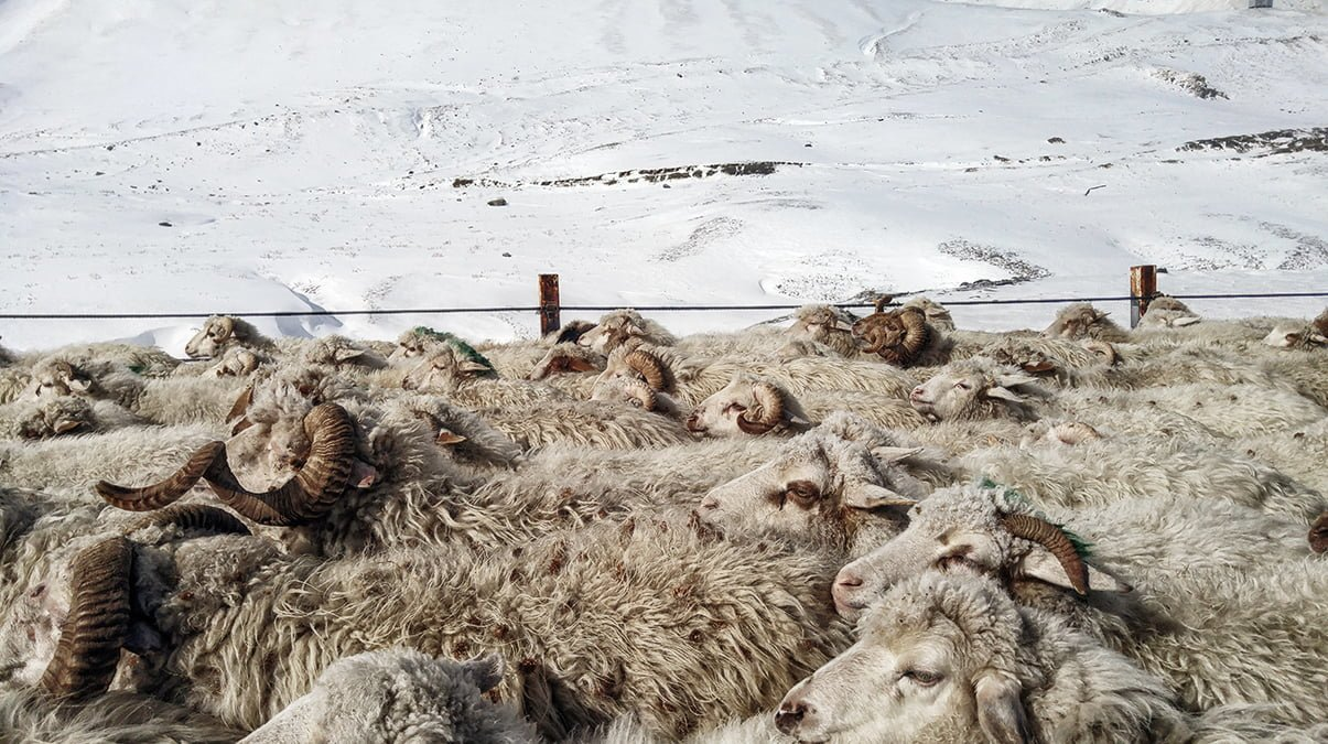 Sheep walking on the roads in Gudauri